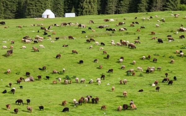 """На пастбищах повышается риск поражения скота. Важно осматривать своих """"подопечных"""" на наличие ран на теле, в которые могут попасть яйца оводов"""