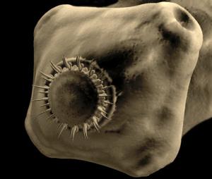 Присоски на головах глистов помогают им держаться за стенки кишечника