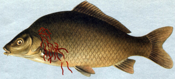 Филометра - маленькие черви, цепляющиеся за чешую рыбы и проникающие в толщу тела