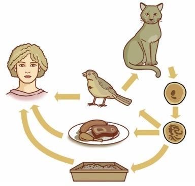 Кошки,являются одним из главных источников заражения человека токсоплазмозом