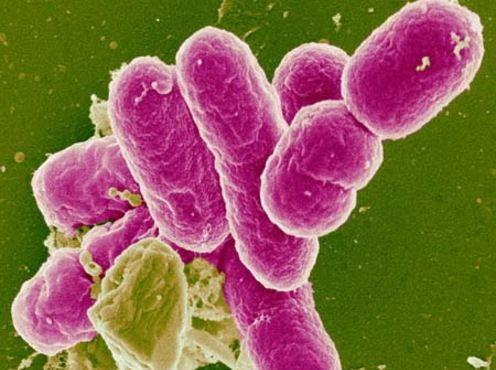 Бактерии шигеллы