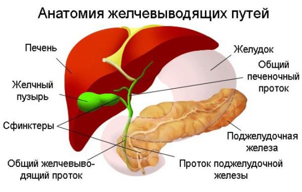 Печень и желчный пузырь - основные места обитания паразита Описторха