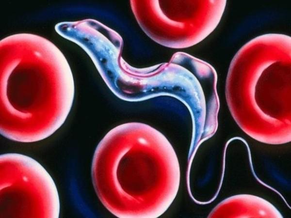 Взрослая форма паразита трипанасомы