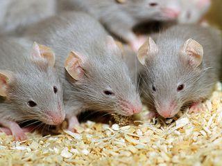 Мыши - следующие хозяева паразита