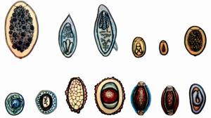 Яйца паразитов имеют различные размеры, форму и жизненный цикл