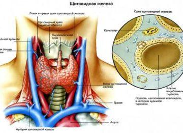 За что в организме человека отвечает щитовидная железа?