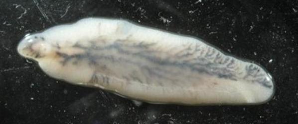 Тело трематода похоже на листок