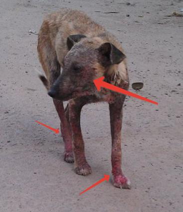 Пес, зараженный паразитом. Стрелками указаны пораженные области тела
