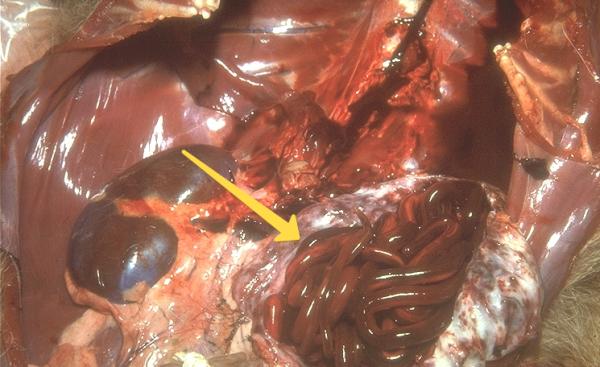 Как видно на картинке, червь достигает внушительных размеров