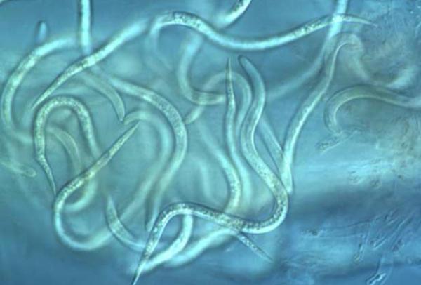 Нематоды - самый распространенный вид паразитов