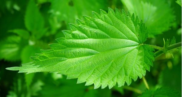 После лечения отвар из листьев крапивы помогает восстановить организм