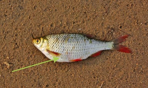 Вздутая и напряженная брюшная полость рыбы сигнализирует о проблемах. В частых случаях это признаки присутствия паразитов