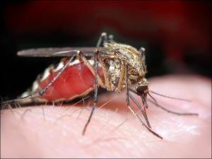 Комар является переносчиком возбудителя Дирофиляриоза
