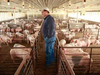 В свиных хозяйствах очень важно, чтобы своевременно проводили уборку и профилактику гельминтозов