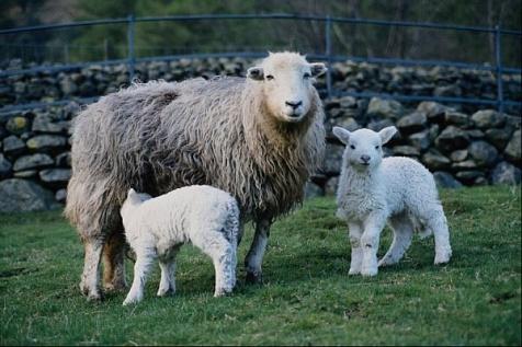 Овцы представляют промежуточных хозяев паразита