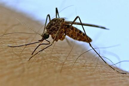 Переносчиками паразитов являются кровососущие насекомые, в частности комары