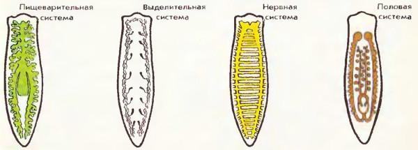 Жизненный системы планарии
