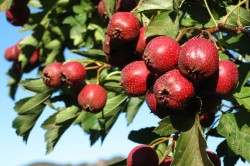 Применение плодов боярышника при климаксе