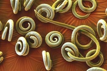 Личинки паразита