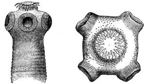 Головка свиного цепня снабжена кручъями, которыми паразит прикрепляется к стенкам кишечника