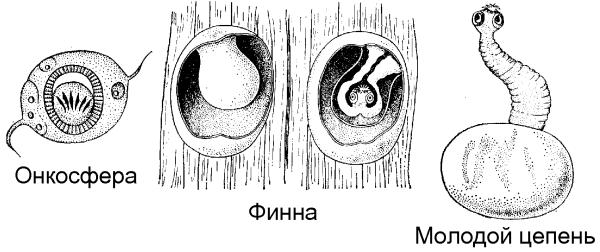 Цикл развития цепня от яйца до взрослой особи