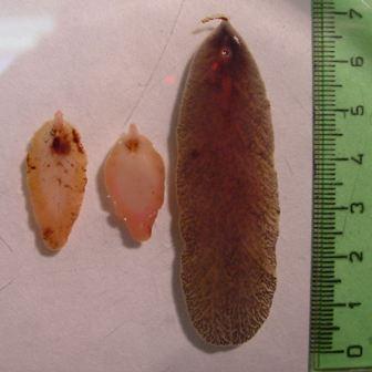 Фасциола - возбудитель одноименного заболевания, в длину достигает 8 см