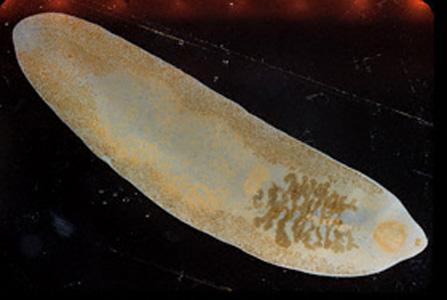 Описторхисы - плоские черви-паразиты, вызывающие заболевание описторхоз