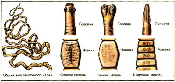 Внешний вид ленточных червей