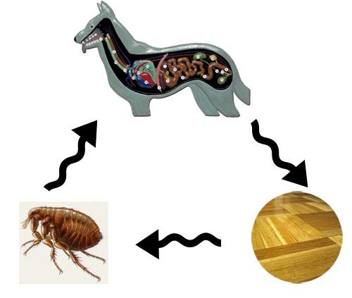 Жизненный цикл огуречного цепня