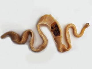 Паразит относится к виду лентецов