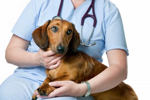 Пёс, как и человек, нуждается в квалифицированной помощи. Если противогельминтные препараты не помогают, обратитесь к ветеринару