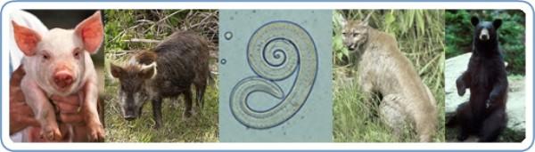 Основные распространители трихинеллы, - это домашние свиньи, дикие кабаны и прочие хищники