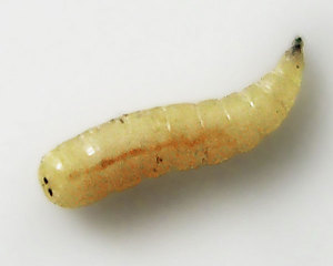 Личинка мухи вызывает Офтальмомиазы