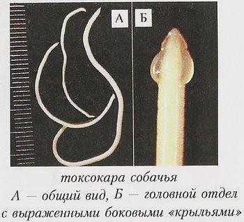 Токсокара