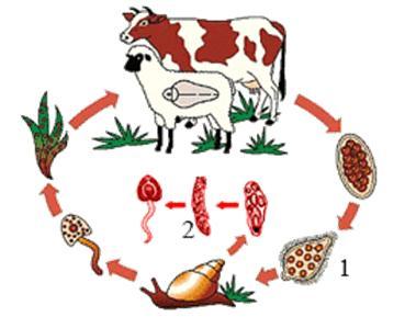 Процесс попадание личинок фасциол в организм животного