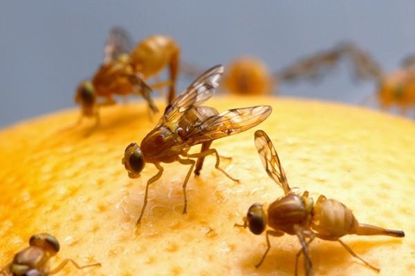 Дрозофилы - одни из самых распространенных домашних мух. Появляются при порче и долгом хранении продуктов на полках шкафов
