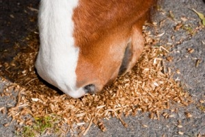 Яйца паразита могут попасть в организм лошади вместе с кормом