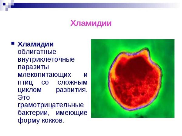 Хламидии - один из представителей паразитов-бактерий