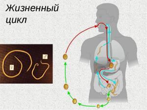 Жизненный цикл кольчатых червей