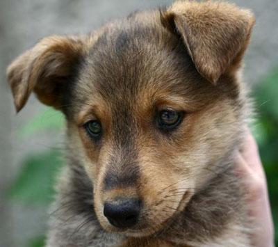 При инвазии молодого организма происходит ухудшение настроения у щенков