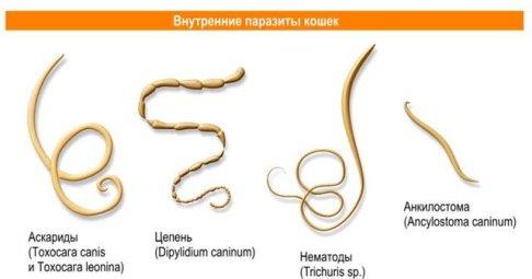 Черви в организме человека могут быть от нескольких миллиметров до нескольких десятков метров
