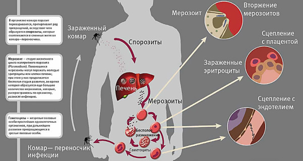 Комар - переносчик инфекции
