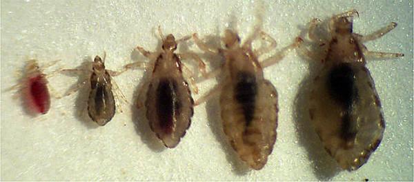 Вши - представители факультативных паразитов. Могут перемещаться от одного хозяина к другому, если в этом будет необходимость, на протяжении всей своей жизни