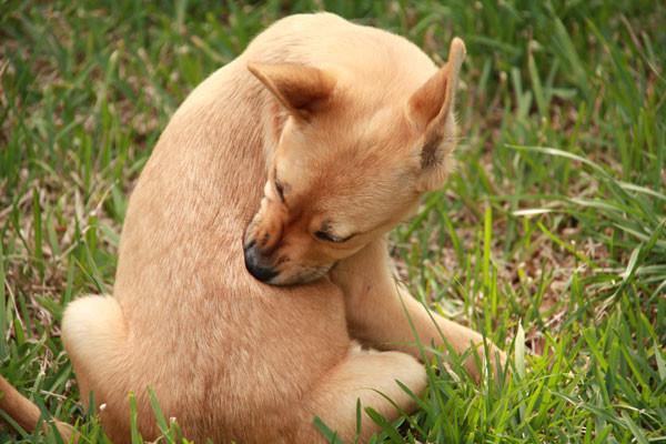 Чаще всего домашние животные заражаются дипилидиозом поедая блох