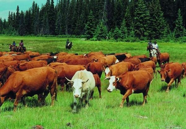 Крупный рогатый скот, а также фермеры и пастухи в большей степени подвержены опасности заражения Бабезиозом