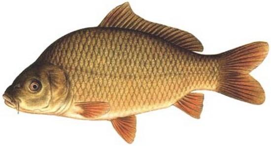 Наибольший процент инвазии у рыб семейства карповых