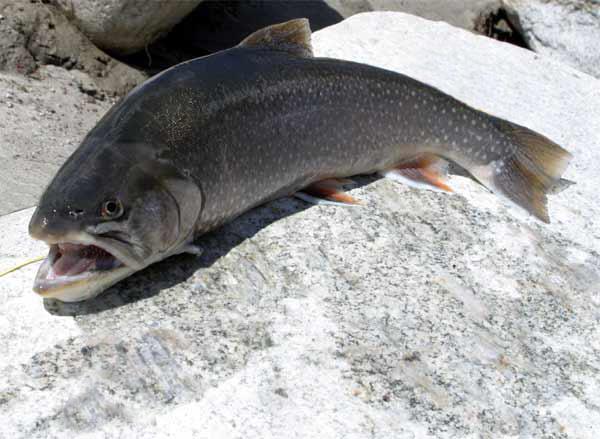 Паразит распространен среди рыб, семейства лососевых