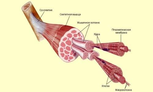 Мышцы, сухожилия и апоневрозы как части одной системы