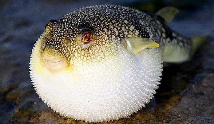 Самая известная ядовитая в мире рыба