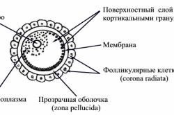 Строение яйцеклетки